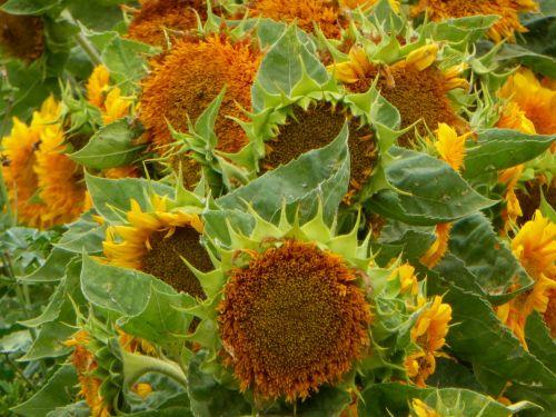 Garden Of Large Sunflowers