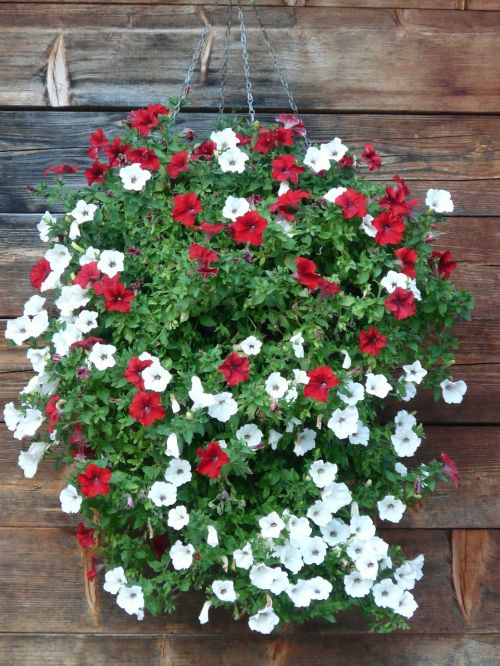 garden petunia petunia balcony plants