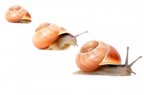 Garden Snail - Animals