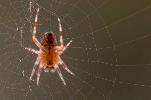 garden spider araneus diadematus spider