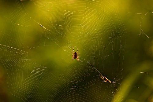 garden spider  cobweb  arachnid
