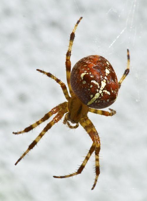 garden spider spider arachnid