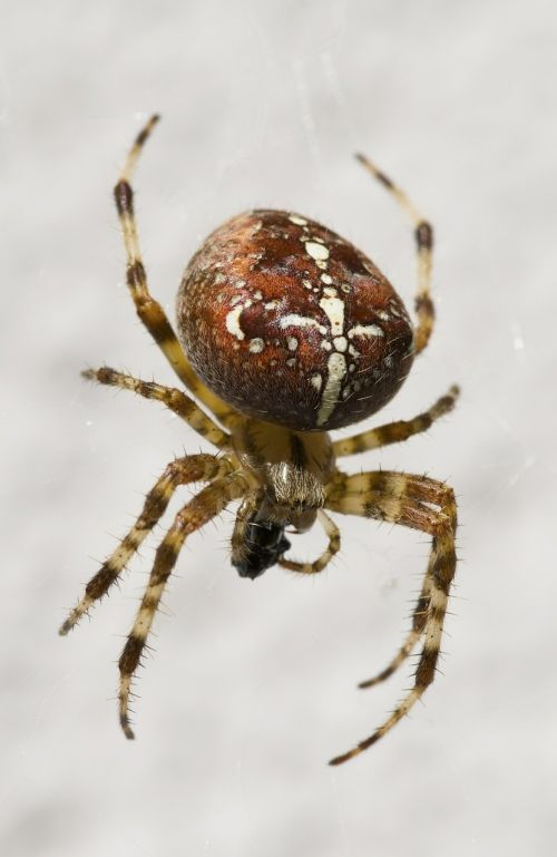 garden spider arachnid close