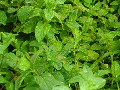 mint gardener macro