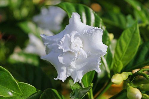 gardenia white flower gardenia jasminoides