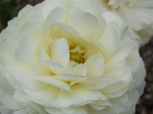 gardenia flower flora