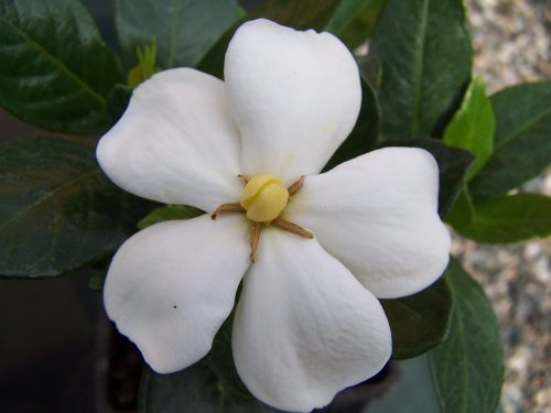 gardenia jasminoides of kleim hardy