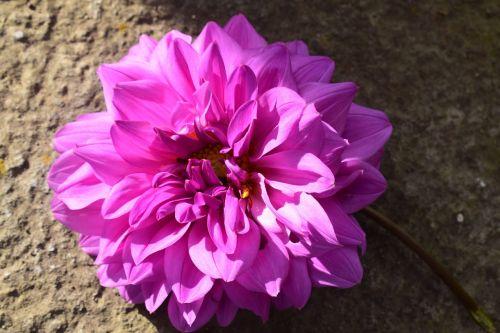 gardenia flower garden