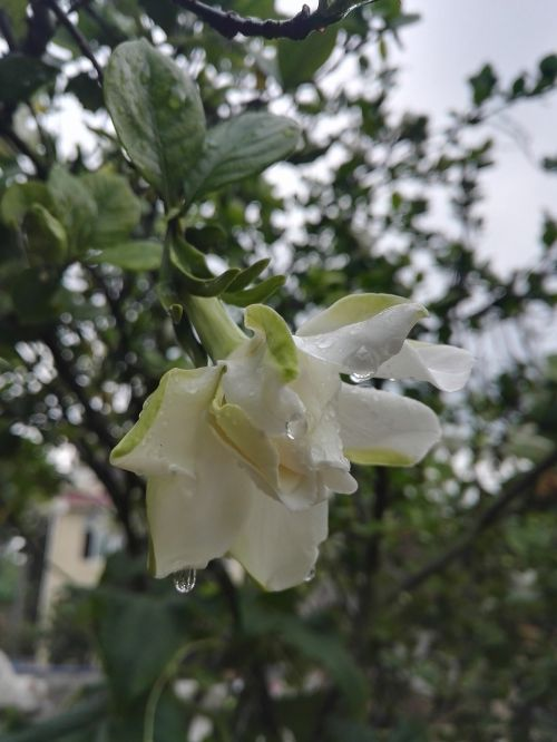gardenia rain white