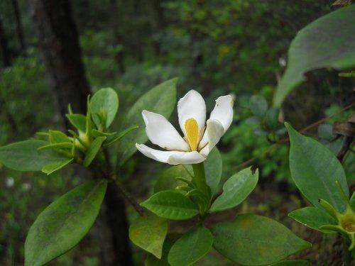 gardenia  flower  plant