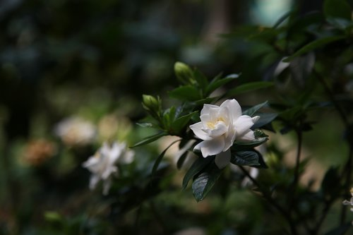 gardenia  nature  plants