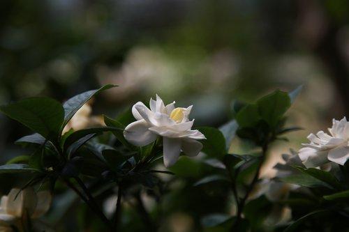 gardenia  fragrance  nature