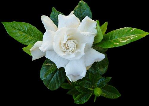 gardenia  flower  fragrant