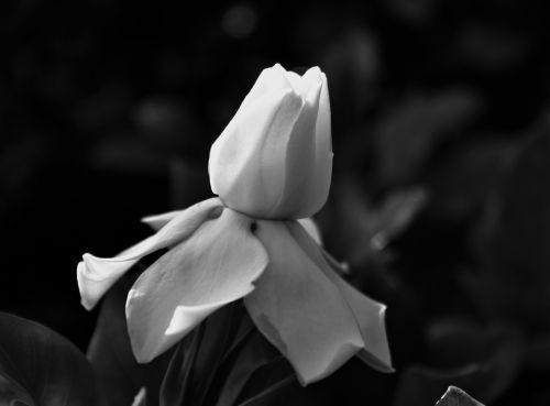 Gardenia Bud In Black And White