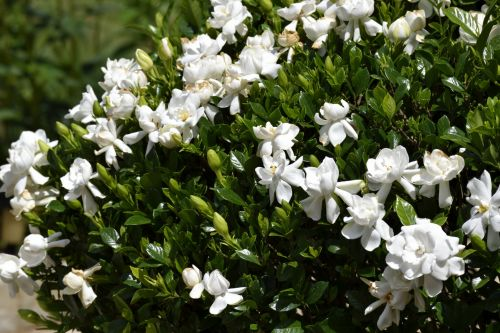 Gardenia Bush Flower
