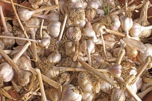 garlic harvest much