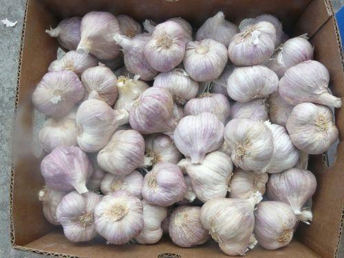 garlic główkowaty flower season