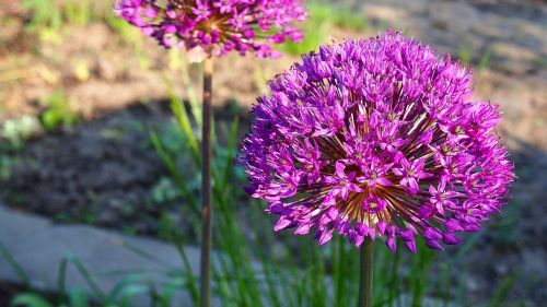 garlic,blooms,garlic główkowaty,flower,nature,macro,decorative garlic,główkowaty,dashing,plant,spring,blooming,violet,purple flower,garlic flower,garden