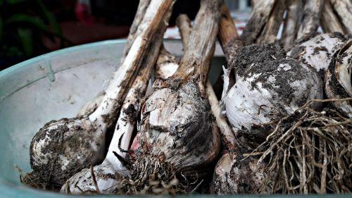 garlic a vegetable kitchen