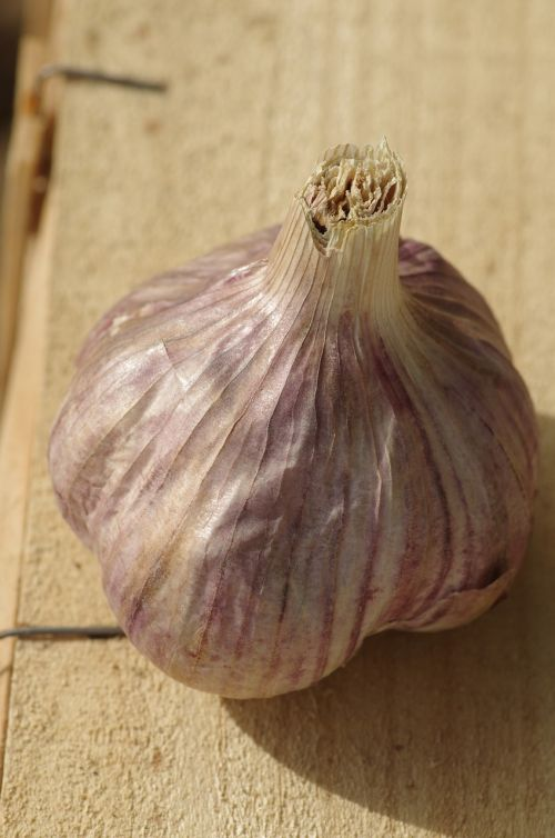 garlic purple garlic nature