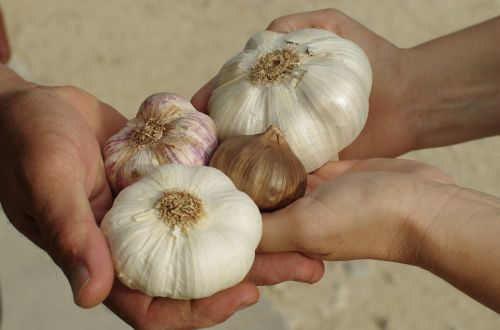 garlic garlic white purple garlic