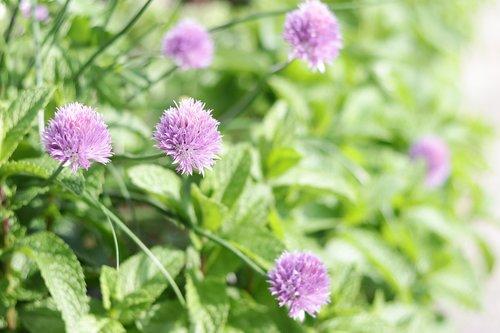 garlic  flowers  purple