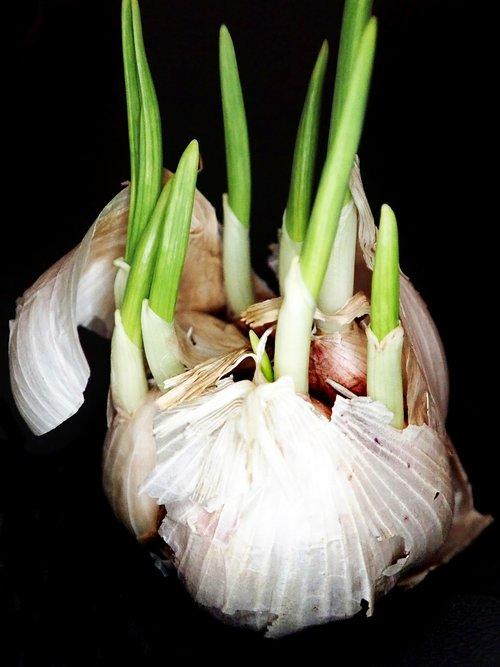 garlic  sprouting  food