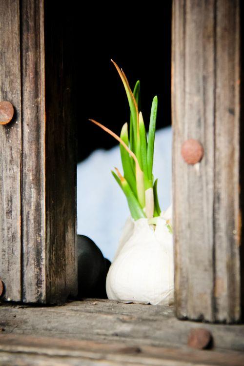 garlic green window