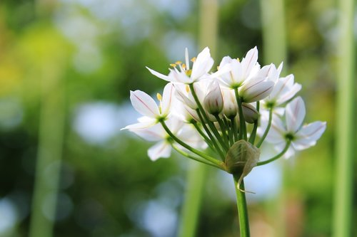garlic chives  flowers  white