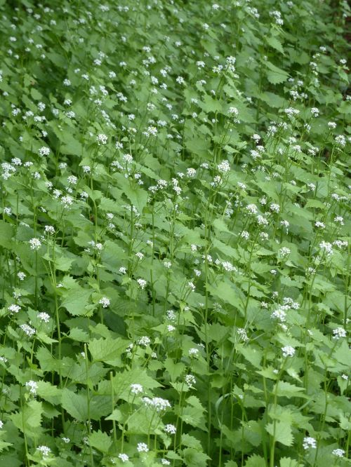garlic mustard blossom bloom