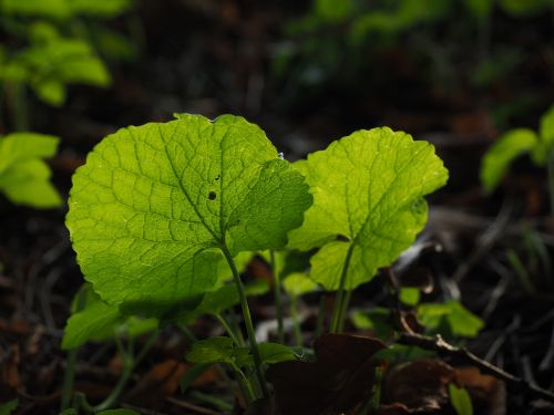 garlic mustard leaves back light