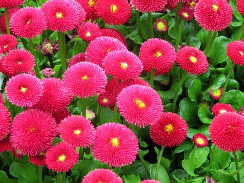 gartenbuersteli,gėlės,rožinis,bellis filosofija,kompozitai,pavasaris