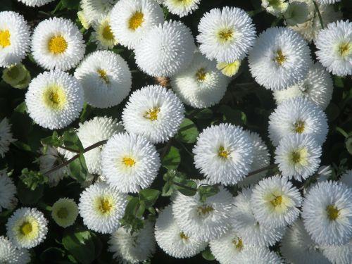 gartenbuersteli flowers white
