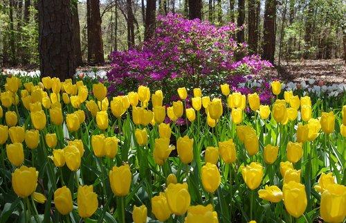 garvan woodland gardens tulips  tulips  woodland
