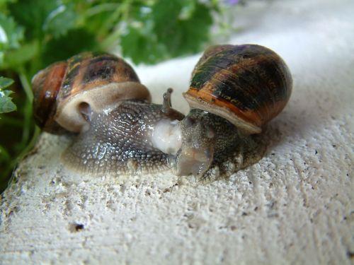 gastropod snail little grey