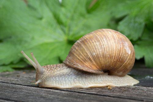 gastropoda snail mollusk