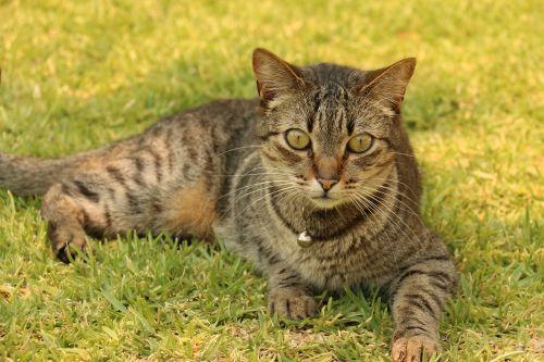 gata cat feline look