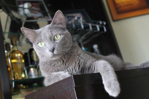 gata blue roller cat lover