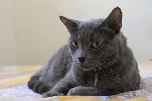 gata grey pet