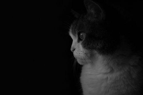 gata cat black and white