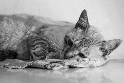 gata domestic animals house cat