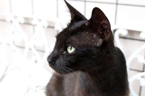 gata  feline  gata negra