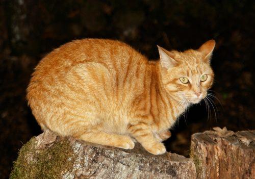 gata animal feline