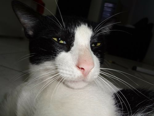 gatão black cat feline