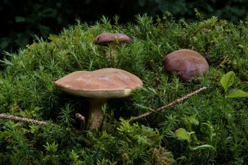 gathering boletus badius blue mushroom