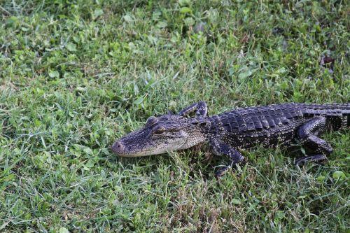 gator alligator wildlife