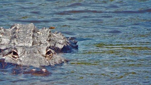 gator  alligator  florida gator
