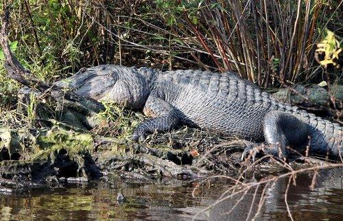 gator  alligator  swamp
