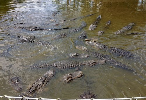 gatorland  alligators  alligator