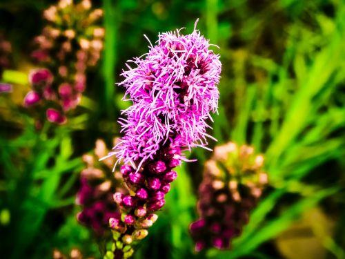 gayfeather liatris north american flower